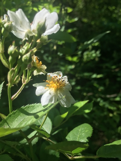blackberriescometh